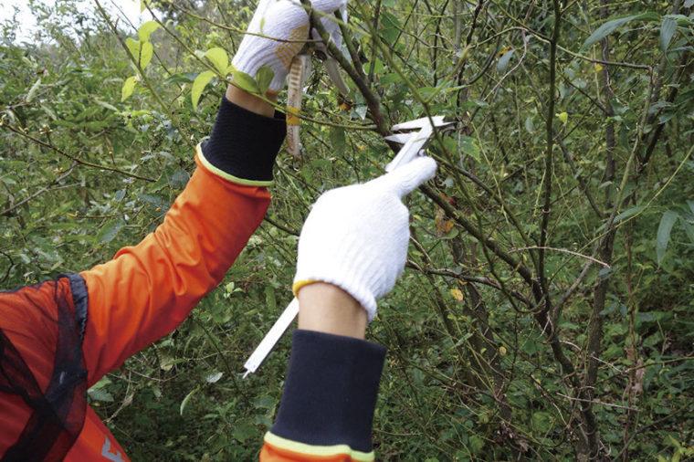 定期的にクロモジ苗木の幹長と地際直径を測定