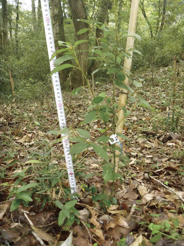 苗木の横から萌芽が発生 しやすいのも特性