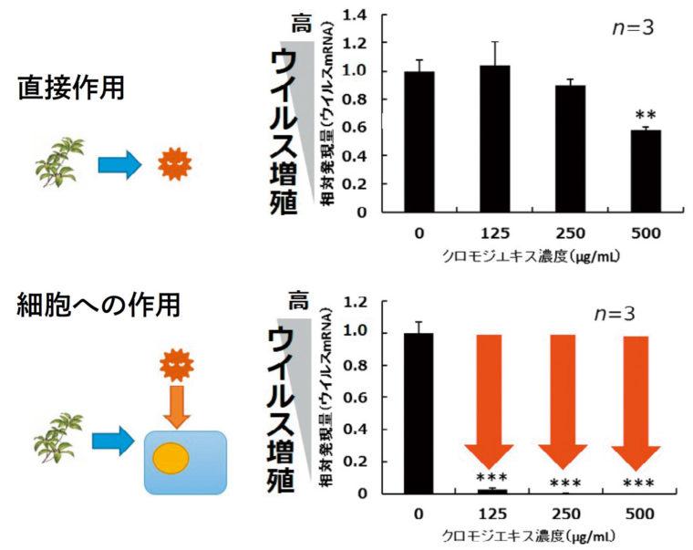 クロモジエキスは細胞に作用する